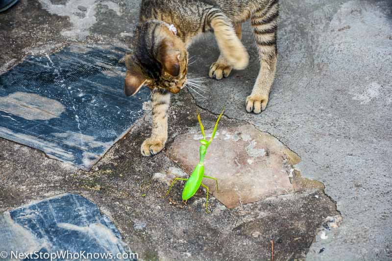 http://nextstopwhoknows.com/wp-content/uploads/2015/06/cat-vs-mantis-0083.jpg