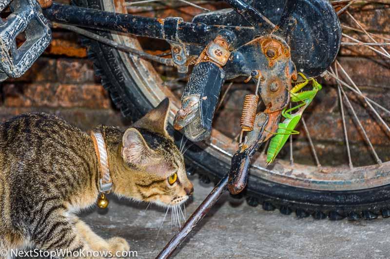 praying mantis vs cat