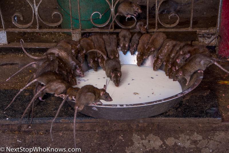 rats drinking milk