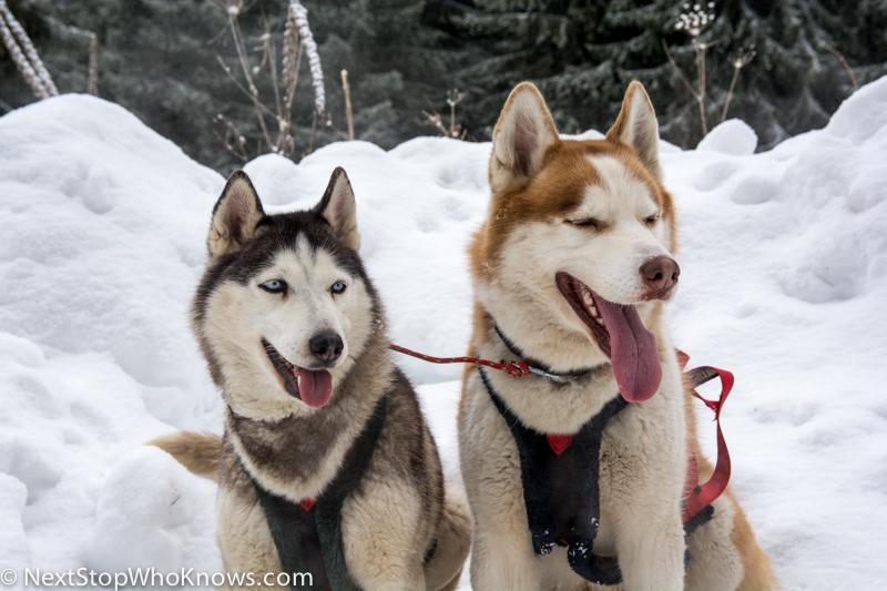 husky sledding in Bulgaria