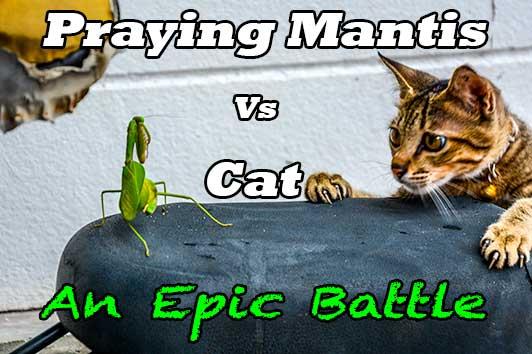 Praying Mantis Vs Cat: An Epic Battle - NextStopWhoKnows