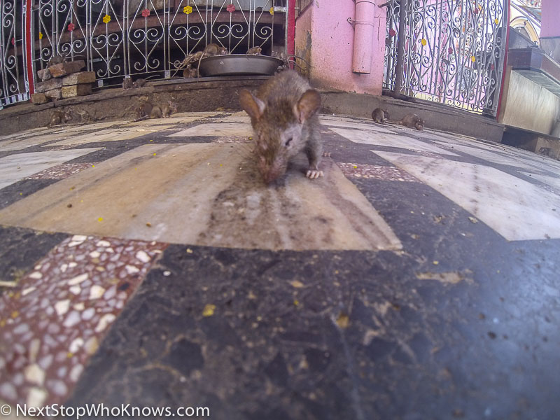 rat temple in bikaner